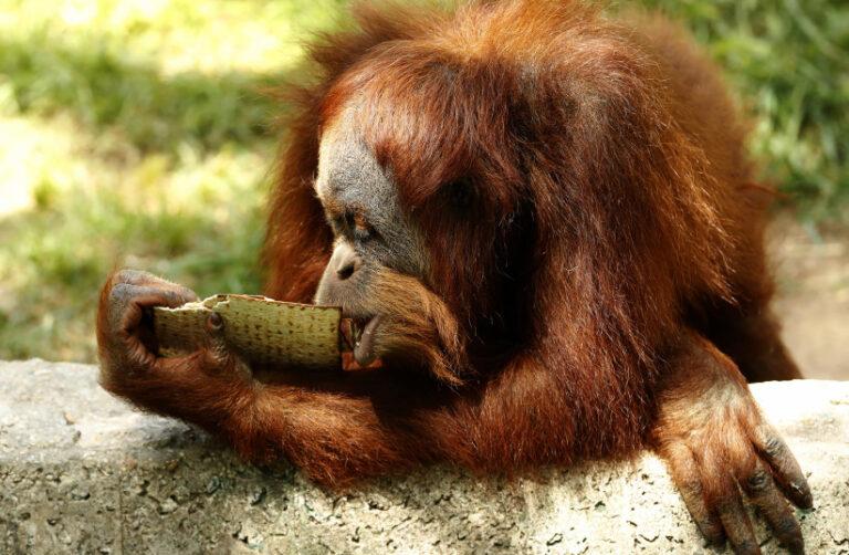 Szökött orangután okozott felbolydulást Izraelben