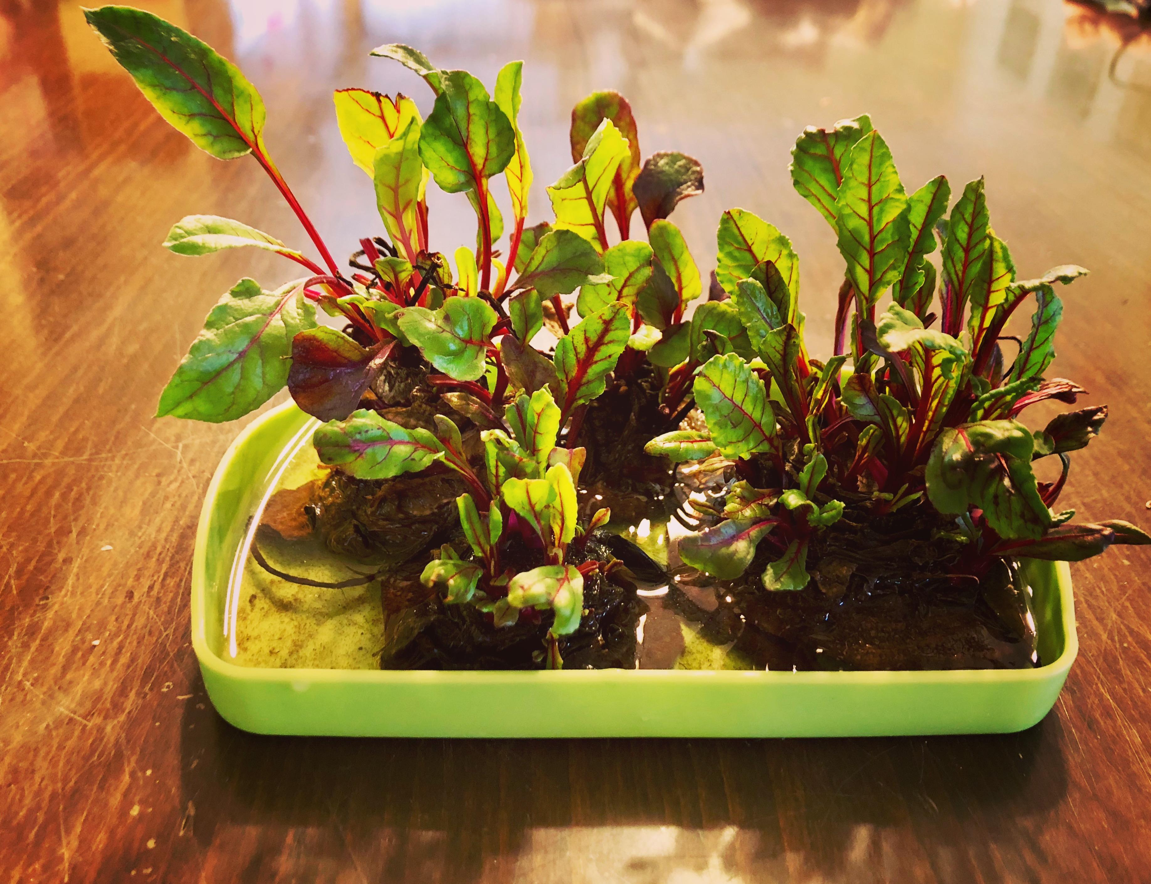 Kóser gasztro: céklalevél-saláta