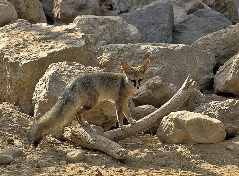 A róka és rabbi Ákivá kacaja